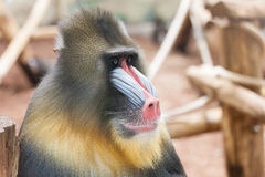 Staring colourfull ape. Staring colourfull monkey in Ouwehands Zoo, Rhenen, Netherlands Stock Photo