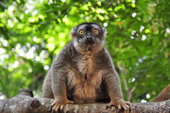 Staring competition with a lemur. Whats behind those yellow eyes of a lemur Stock Photo