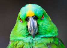 Staring contest. Yellow-neck Amazon, shot in Shanghai Zoo Royalty Free Stock Photos