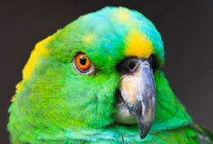 Staring Contest. Yellow-neck Amazon, shot in Shanghai Zoo Royalty Free Stock Images