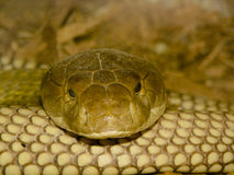 Staring Contest. Close-up of a Golden brown snake coiled up and staring at me Royalty Free Stock Photos