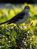 Staring Contest. Mockingbird staring straight into camera Stock Photography