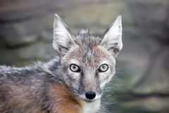 Staring corsac fox. In kiev zoo Royalty Free Stock Image
