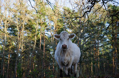 Staring cow. In a forest from a low perspective Royalty Free Stock Image