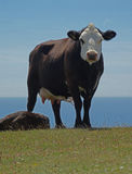 Staring cow on a hill. England Royalty Free Stock Photo