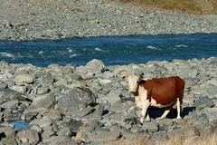 Staring cow. At river bank Stock Images