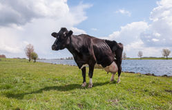 Staring cow at the river banks. Cow with full udders is waiting for milking Stock Photo