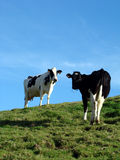 Staring cows. Two staring cows on a green field hill Stock Photos