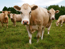 Staring Cows Stock Images