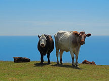 Staring cows on a hill on the coast. England Stock Photos
