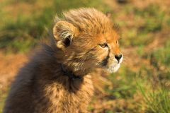 Staring cub Stock Images