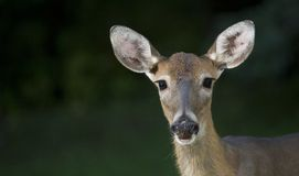 Staring deer Royalty Free Stock Image