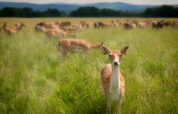 Staring deer in Dublin Phoenix Park Royalty Free Stock Images