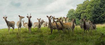Staring Deer Herd. A big herd of deers standing together on a green field and watching royalty free stock photography