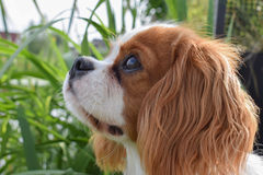 Staring dog. Beautiful staring dog in the backyard Royalty Free Stock Photo