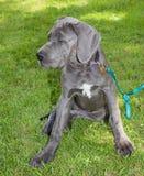 Staring dog Royalty Free Stock Photos