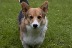 Staring dog Royalty Free Stock Images