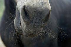 Staring down the nose of a horse with whiskers. A close-up of a grey horse nose with pimpled skin and white whiskers stock photography