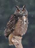 Staring Eurasian Eagle Owl Stock Image