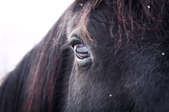 Staring eye of black horse