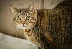 Staring eyes. Cat eyes staring back at camera Royalty Free Stock Photography