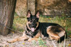 Staring Eyes Purebred  German Shepherd Adult Dog, Alsatian Wolf Royalty Free Stock Photography