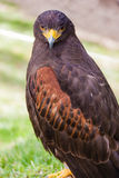 Staring falcon Stock Images