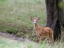 Staring Fawn Stock Photo