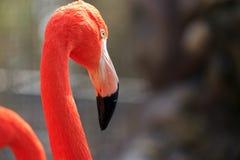 Staring Flamingo Stock Photo