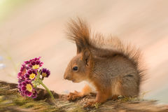 Staring at flowers. Close up of  young red squirrel staring at flowers Royalty Free Stock Photos