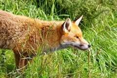 Staring Fox Stock Photos