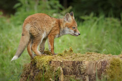 Staring fox. Young fox staring at something in the distance whilst standing on an old tree stump Royalty Free Stock Images