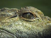Staring eye of crocodile. Staring frighting dark eye of a crocodile close up with leathery skin Stock Photo