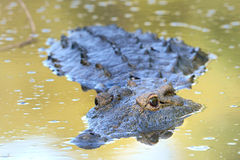 Staring into the future. Crocodile staring at photographer with reflection in water Stock Image