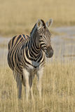 Staring into the future. Zebra staring across the grass plains in Etosha National Park in Namibia Stock Photo