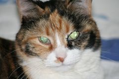 Staring glare calico cat female close up on face cute feline dark. Staring glare calico cat female close up on face cute feline eye glare Royalty Free Stock Photography