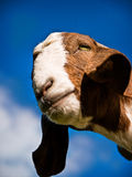 Staring Goat Stock Image