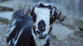 Staring Goat stock footage