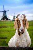 Staring goat Stock Photo