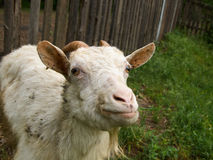 Staring goat Stock Photography