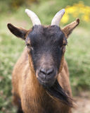 Staring Goat. Young goat staring straight ahead royalty free stock photo
