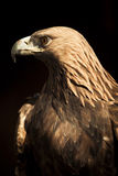 Staring golden eagle Stock Photo