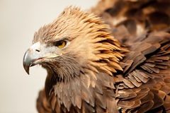 Staring golden eagle. Golden eagle staring at camera Royalty Free Stock Photos