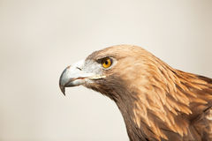 Staring golden eagle. Golden eagle, isolated profile view Stock Images