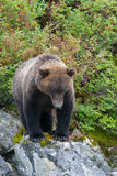 Staring grizzly bear Royalty Free Stock Photography