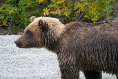Staring grizzly Royalty Free Stock Images
