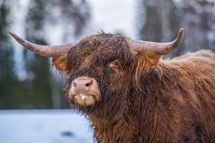 Staring highland cow Royalty Free Stock Photography