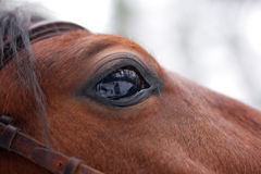 Staring Horse's eye. Reflection of winter world in staring Horse's eye Royalty Free Stock Image