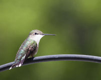 Staring hummingbird Royalty Free Stock Photography