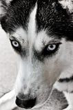 Staring Husky Stock Photos